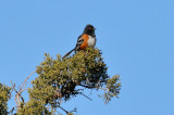 Spotted Towhee (4250)