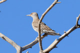 Northern Flicker (red-shafted) (4278)