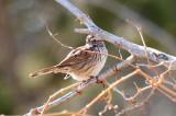 Song Sparrow (4297)