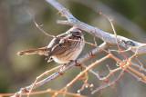 Song Sparrow (4298)