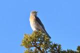Western Bluebird (4349)