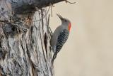 Red-bellied Woodpecker (4820)