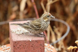 Cassin's Finch (molting) (5351)