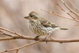 Cassin's Finch (Pink tint) (5607)