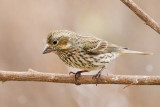 Cassin's Finch (Pink tint) (5673)