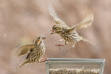 Cassin's Finches being Grumpy (5585)