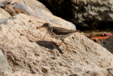 Spotted Sandpiper (9599)