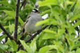 White-crowned Sparrow (dark-lored) (9534)