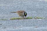 Golden-crowned Sparrow (9892)