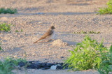 Northern Rough-winged Swallow (2214)