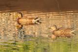 Ducks, assuming domestic Mallards, at WRWTF (2184)
