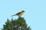 Yellow-breasted Chat (3961)