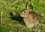 Cotton tail Rabbit in wild parsnip patch