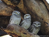 Bagan's Spotted Owl Family