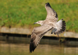 Caspian-gull-juvenile-flight-1.jpg