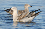 caspian-gull-second-winter-grou-holland-10-11-2013.jpg