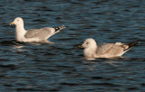 caspian-gull-second-winter-grou-holland-10-11-2013-and-adult.jpg