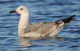 caspian-gull-second-winter-grou-holland-10-11-2013-nr-2.jpg