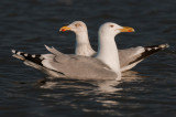 Caspian gull and herring gull