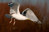 caspain-gull-6th-winter-feb-2014-grou-holland.jpg