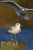 Common-gull-second-winter-nov-2014-grou-Holland-2.jpg