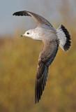 Common-gull-second-first-nov-2014-grou-Holland.jpg