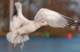 Yellow-legged-gull third winter-grou-holland.jpg