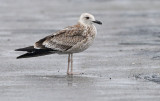 caspian-gull-juv-into-first-winter-nov-2014-.jpg