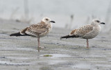 caspian-gull-juv-into-first-winter-nov-2014-3-.jpg