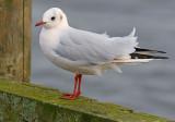 Black-headed-gull-pink-nov-2014-holland.jpg
