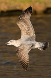 Herring-gull-jan-2nd-winter.jpg
