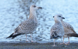 herring-gull-a-typical-greater-coverts.jpg