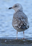 Herring-gull-jan-2015-first-winter-backside.jpg