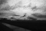 Spreeuwen slaapplaats vliegshow lauwersmeer 9.jpg