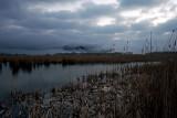 Spreeuwenzwerm lauwersmeer spreeuwen slaapplaats.jpg