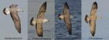 First winter Yellow legged gull, Caspian gull, Lesser black backed gull and Herring gull