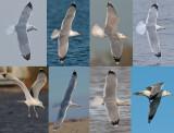 8 adulten bovenzijde pontische meeuwen Caspian gull adult.jpg