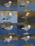 8 second winter common gull.jpg