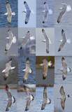 Caspian gull grou 2016 16 different birds Pontische meeuwen 16 vogels.jpg