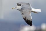 Geelpootmeeuw Yellow-legged gull third winter nov Malaga 1.jpg