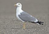 Yellow legged gull adult winter Malaga 2.jpg