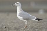 Yellow legged gull third winter Malaga 1.jpg
