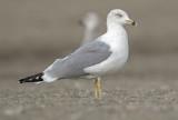 Yellow legged gull third winter Malaga 3.jpg