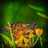 Monarch Butterfly 2016