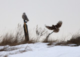 Snowy Owl with Red-tailed Hawk