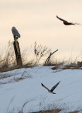 Snowy Owl with Northern Harriers