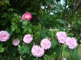 DSC08661 Berkenthiner Rose.JPG