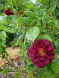 DSC08675 Kathie's Rose.JPG