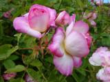 DSC08693 Morning Blush.JPG