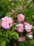 DSC08694 Morning Blush.JPG